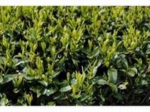 牧之原台地の茶葉