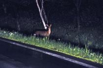 ネイチャーナイトウォチング 鹿