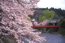 飛騨高山の代名詞「赤い中橋」と桜