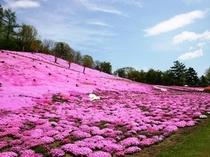 太陽の丘の「芝桜」