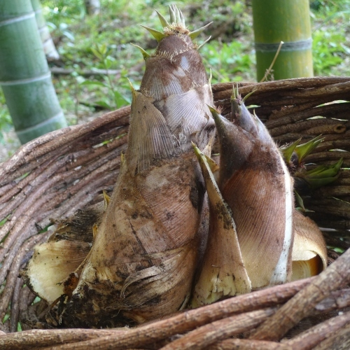 湯楽のお庭で採れたての筍