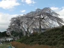 平泉は桜の名所。毛越寺前の小学校の校庭も素晴らしい