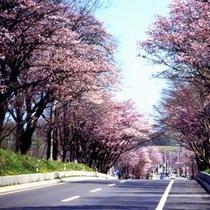 ■例年5月中旬に見頃を迎える登別の桜並木