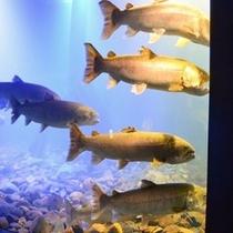◆【周辺観光】『道の駅 おんねゆ温泉』内にある『山の水族館』で見ることができる【幻の魚 イトウ】