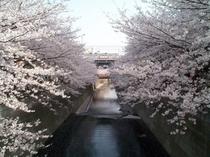 目黒川の桜(ホテルサーブ渋谷周辺)