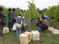 マリコヴィンヤード 高級ワイン用葡萄収穫体験