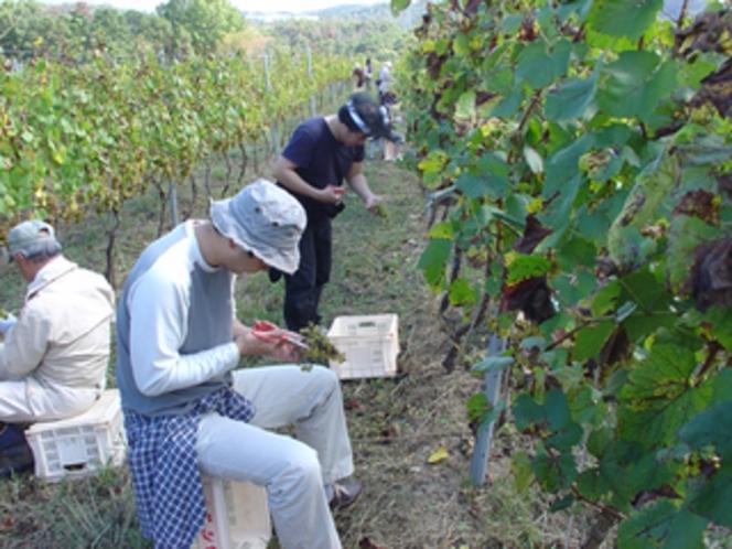 マリコヴィンヤード 高級ワイン用葡萄収穫体験プラン