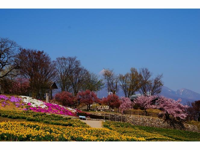 音楽村の水仙と芝桜背景浅間山