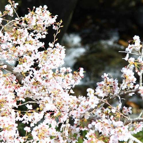 客室からの眺め_春の桜