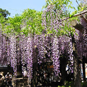 古都の花めぐり:春日大社の藤棚