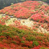 古都の花めぐり:葛城山のツツジ