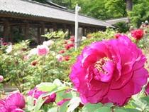 古都の花めぐり:長谷寺の牡丹