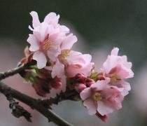 たざわこ芸術村の桜