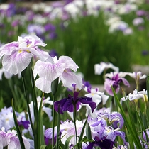 【春】横手市浅舞 あやめまつり6月頃開催。80種3万株50万本のハナショウブがみられる