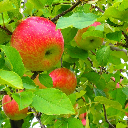 【横手の特産】増田のリンゴは蜜があり甘くてジューシー♪ジュースならお土産にも手軽に!