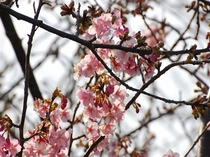 伊豆河津桜祭り!