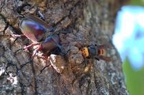 伊豆高原にはカブトムシやクワガタがいます!