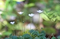 白花フウロ