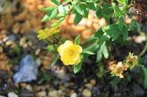 八重咲きキンバイ