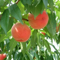 福島県の桃