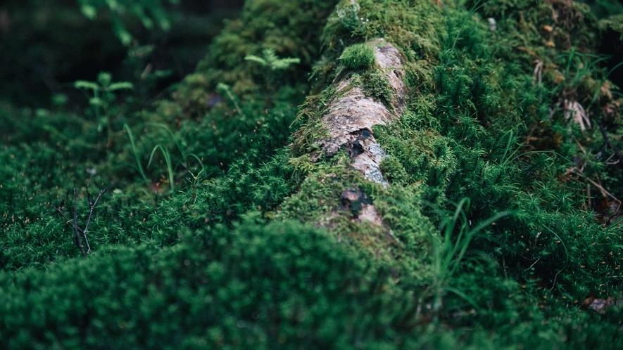 白駒池 足を一歩踏み入れると美しい苔の森が広がっています