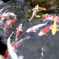 庭園内の鯉