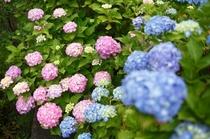 【6月~露天風呂へ続く道】色鮮やかに咲く紫陽花の花々も楽しめます