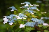 【6月~露天風呂へ続く道】白、紫、青、ピンク・・・紫陽花が鮮やかに咲き誇る季節です