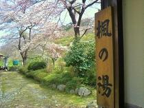 【桜の貸切露天風呂】この桜を露天に入りながら独占できる『楓の湯』はこの時期とても人気です