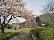 【~4月下旬~】当館から車で約10分にある「日本こけし館」。鳴子温泉郷の隠れた桜名所です