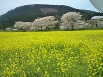 【~4月下旬~】鳴子温泉郷の入口「川渡温泉」の河川敷では例年4月下旬に菜の花と桜のコラボが楽しめます