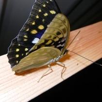 国蝶(オオムラサキ)が夏になると敷地内に飛んでます