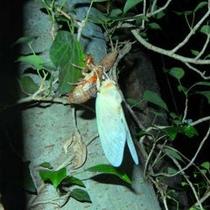 夏の探検隊で発見(羽化直後のセミ)本物の自然を体験して下さいね