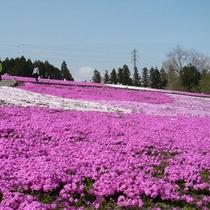 羊山公園の芝桜(4月下旬〜5月上旬)