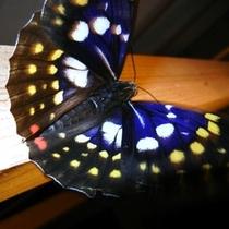 国蝶(オオムラサキ)が敷地内に飛んでくることもあります