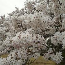 美の山公園の桜(4月中旬〜下旬)