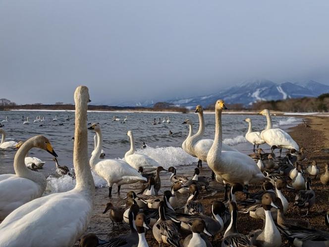 【猪苗代湖の白鳥】白鳥の飛来地。猪苗代湖の各スポットで間近に白鳥を見れる。(当館より車で約45分)