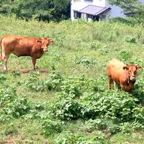 【牛】たまに遊びに来る牛さんを庭から見られるかも!?