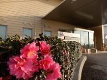 玄関前 椿の花
