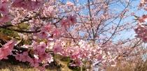 河津桜(園地)