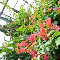 *【ブーゲンビリア】レストラン前に咲いているブーゲンビリア。美しいピンク色の花を咲かせます。