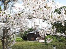ゆ華中庭の桜