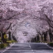 *【長瀞の桜並木/北桜通り】「日本さくら名所100選」にも選ばれている桜のトンネル