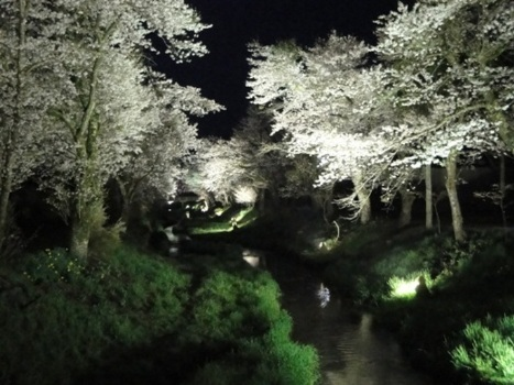桂川と夜桜
