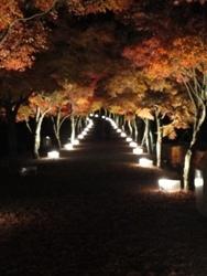 富士山の麓のモミジ街道をライトアップ
