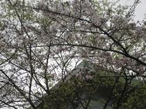 三右エ門と山桜