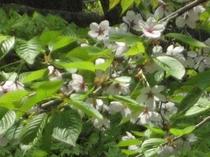 台温泉と山桜