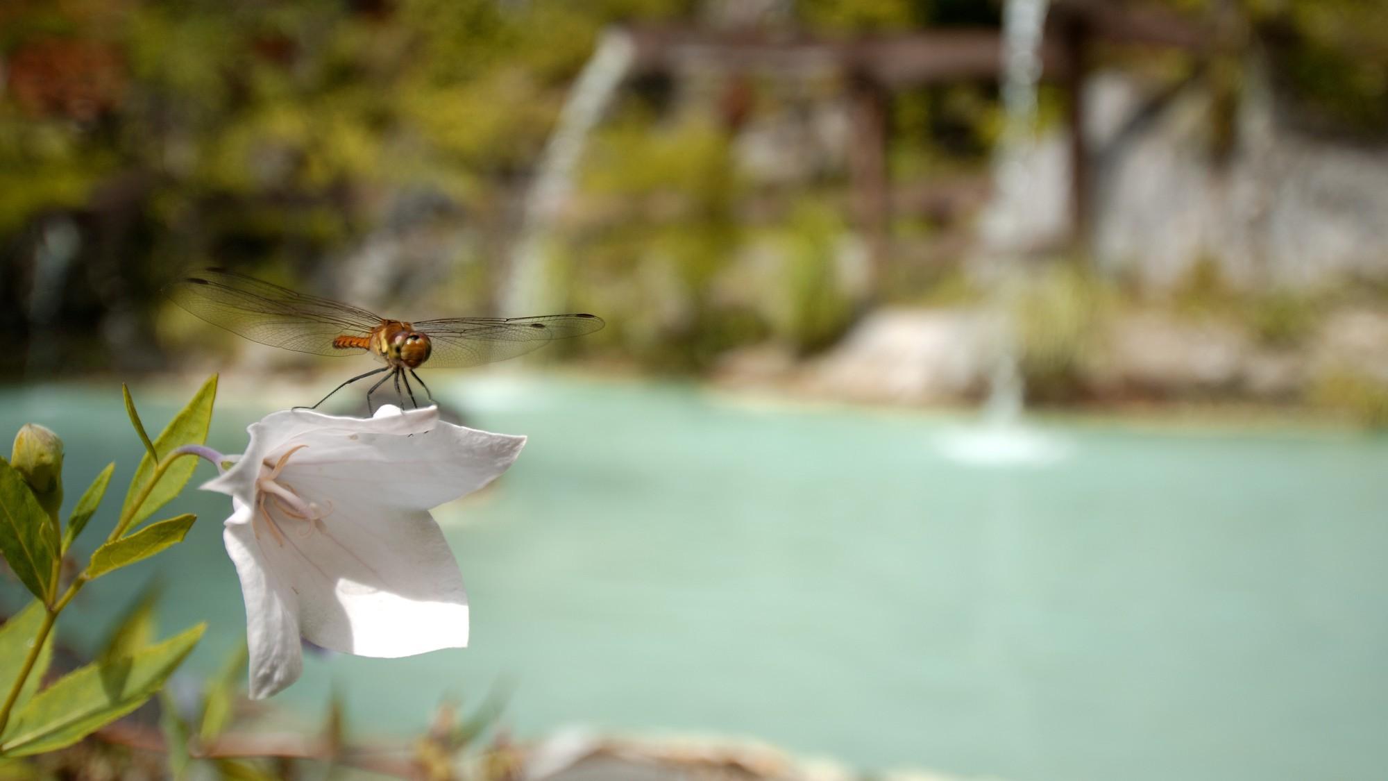 ・【夏】花咲く露天風呂・とんぼも見物に