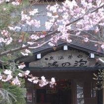 ◇桜咲く・・・春の泡の湯玄関