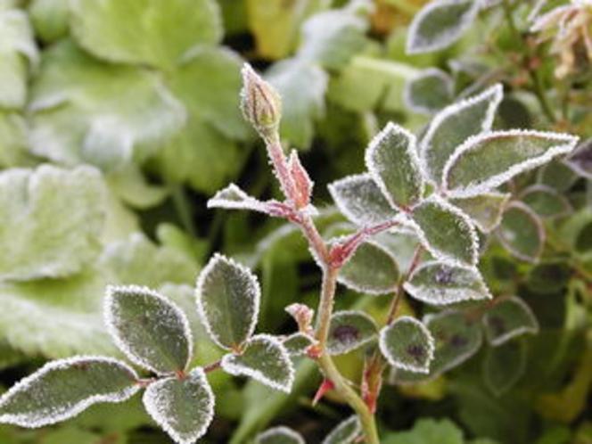 霜と薔薇のつぼみ